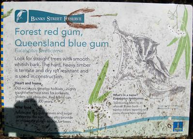 Forest red gum, Queensland blue gum (Eucalyptus tereticornis) - Banks Street Reserve - Signs, Plants & Flowers. (Point & Shoot Camera); Newmarket, Brisbane, Queensland, Australia; 24 September 2012. Photos by Des Thureson - http://disci.smugmug.com.