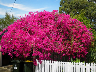 Bouganvilla, near Banks Street Reserve - Signs, Plants & Flowers. (Point & Shoot Camera); Newmarket, Brisbane, Queensland, Australia; 24 September 2012. Photos by Des Thureson - http://disci.smugmug.com.