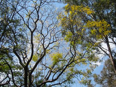 Presumably a Jacaranda? - Banks Street Reserve - Signs, Plants & Flowers. (Point & Shoot Camera); Newmarket, Brisbane, Queensland, Australia; 24 September 2012. Photos by Des Thureson - http://disci.smugmug.com.