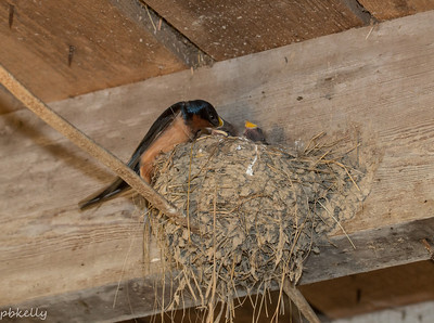 6/11/2014.  Now you can see the heads above the nest when they get fed.