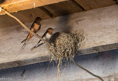 6/17/2014.  I think they just hatched here.  Too small to see anything, but Mama is off the nest more.