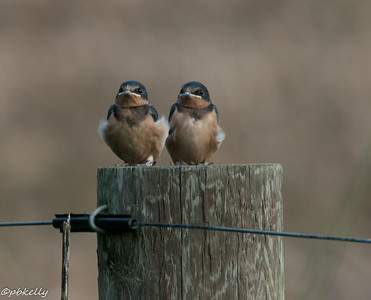 6/23/2014  Two of the babies on a fence post.