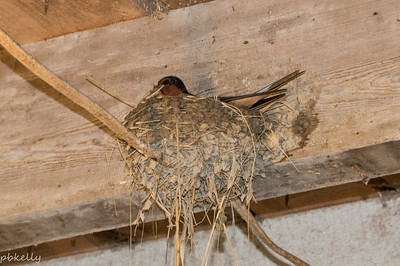 5/11/2014.  Papa Swallow bringing some straw for the started nest