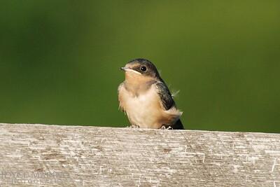 Barn swallow -- DSC_0043-1