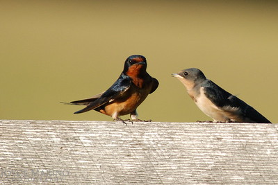 Adult barn swallow and baby barn swallow -- DSC_0023