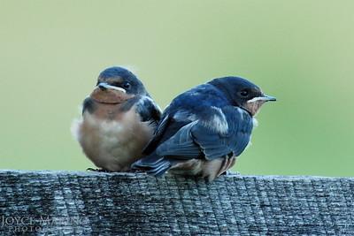 Baby barn swallows -- DSC_0584