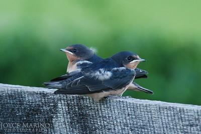 Barn Swallows -- DSC_0666