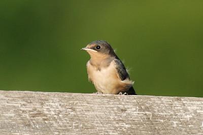 Baby barn swallow -- DSC_0042