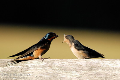 Barn swallows, adult and baby -- DSC_0035
