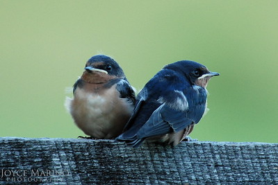 Baby barn swallows -- DSC_0580