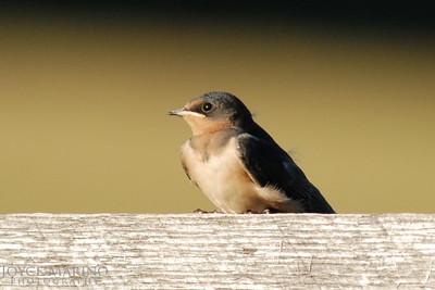 Baby barn swallow -- DSC_0028