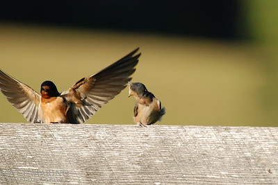 Adult barn swallow landing on fence to feed very hungry baby -- DSC_0021