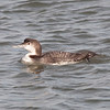 Common Loon at Barnegat Light