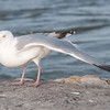 Icelandic Gull at Barnegat Light