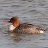 Red-Breasted Merganser at Barnegat Light