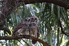 Barred owl pair in Melbourne, FL backyard