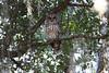 Barred owl pair in Melbourne, FL backyard