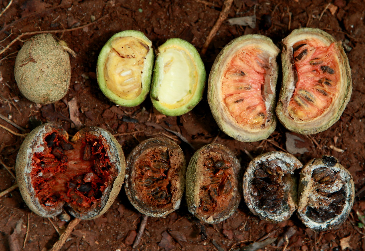The wickedly fast pace of decomposition in a tropical forest.  If these seeds aren't taken by an animal when they're surrounded by yummy ripe orange pulp, the fungi devour everything within just a few days. Fruit flies and beetles join in the action and presumably race against the fungi to devour these fruit and seeds.  Fruit is from the rainforest shrub, Stemmadenia donnell-smithii (Apocynaceae).  Barro Colorado Island, Panama