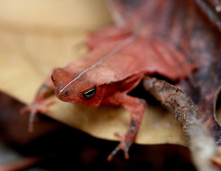 Leaf litter toad (Rhinella alata)