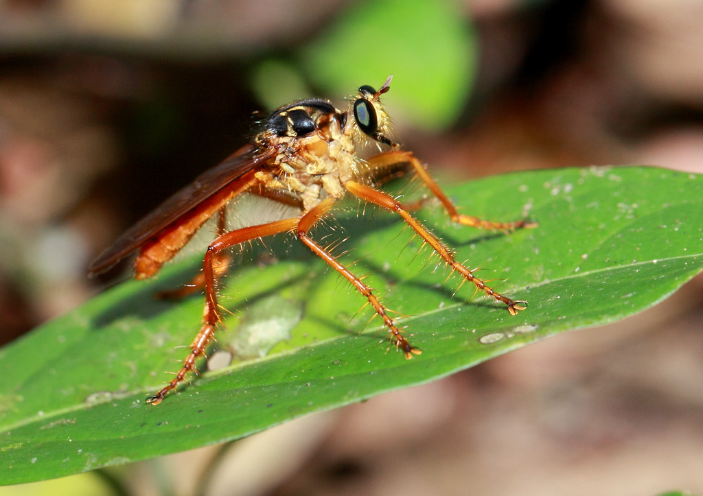 Robber fly (Diptera, Asilidae).  Barro Colorado Island, Panama. Note the huge thorax (the motor) relative to the abdomen (the main payload), which allows these flies to out-accelerate other insects during flight, catch them, and suck out their juices.