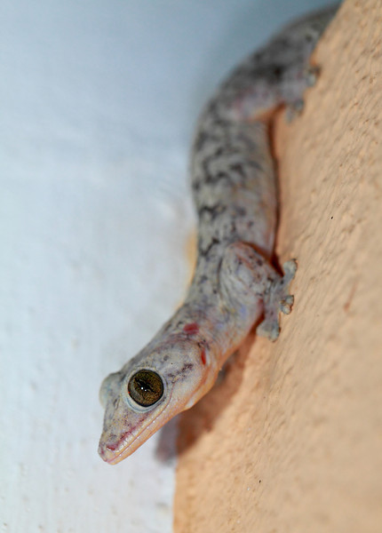 A medium sized gecko species on the wall of the dorm building where I stayed.