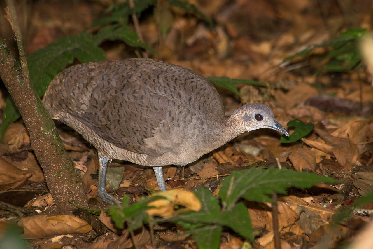 Tinamou following army ants.  It grabs large insects flushed out of hiding by the ants.