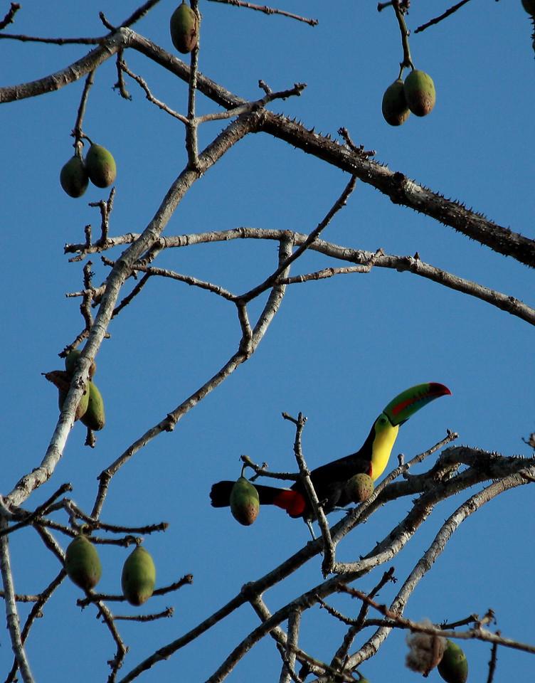 Keel-billed toucan (Ramphastos sulfuratus), Barro Colorado Island, Panama