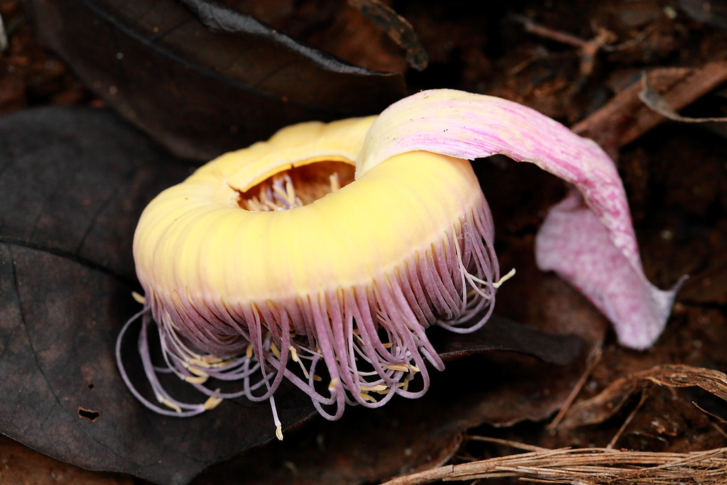 Terrrestrial jellyfish?  No  .... just a fallen flower of the aptly named tree, Gustavia superba.
