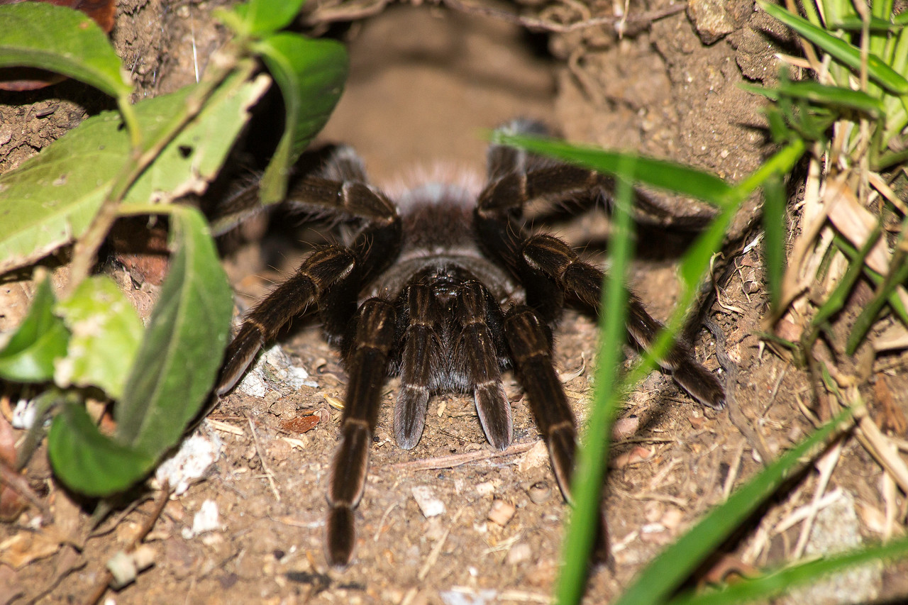 Panama Red Rump Tarantula (Sericopelma rubronitens).  This one had a burrow just off the sidewalk to my dorm room.