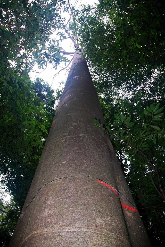 An enormous specimen of Cavanillesia platanifolia.  Amazingly, this rainforest giant has wood less dense than balsa. The metal band marked with red flagging tape is an expandable device that continuously shows the tree's girth. This individual (tag # 1091, dbh = 188 cm) is the 16th largest tree on the 50 hectare Forest Dynamics Plot on Barro Colorado Island, Panama.  Another individual of this species is the largest tree on the plot, with a 24% larger diameter (dbh = 248 cm).
