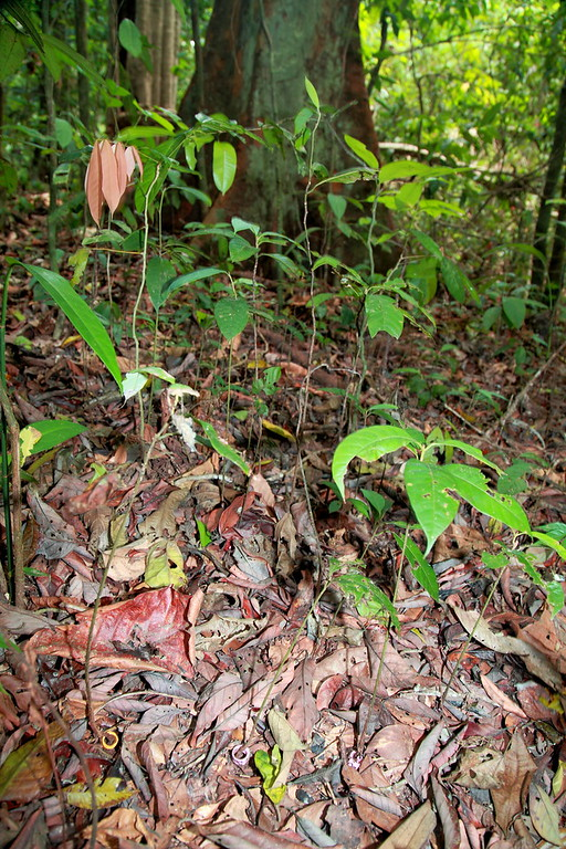 Marked seedlings (note the colored and numbered expandable bands at the base of three seedlings in the foreground) on the Forest Dynamics Plot, Barro Colorado Island, Panama.  Liza Comita and her team have a 1 m^2 seedling plot in the center of each 5 x 5 m grid on this 50 hectare plot, a total of 20,000 plots.  These have been repeatedly censused since 2001, a massive effort.