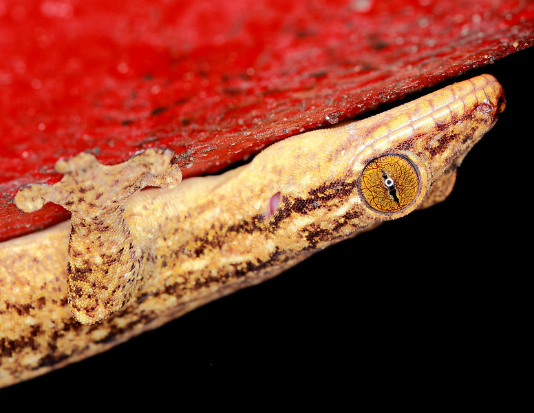 A large gecko on a bright red water pipe.  I found this at night above a bridge over a little stream at the Smithsonian Tropical Research Institute, Barro Colorado Island, Panama
