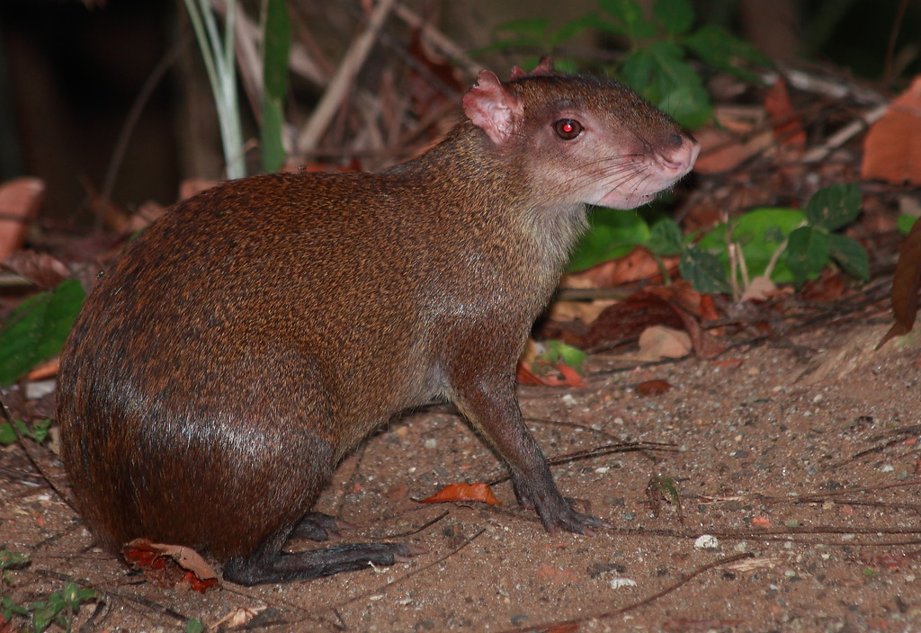Agouti (Dasyprocta punctata).  A diurnal seed eating rodent with an oversized nose.