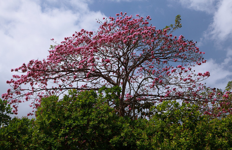 Tabebuia rosea tree flowering in Gamboa.  Like many trees in tropical forests with a pronounced dry season, this species drops its leaves, then flowers.