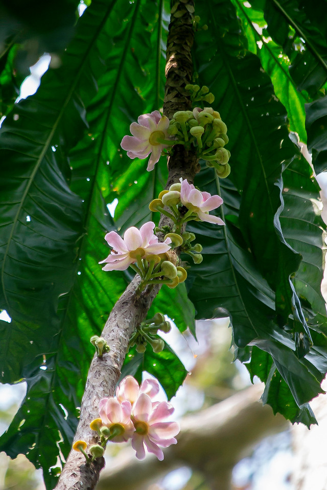 Gustavia superba flowers on the stem of this lovely tree that doesn't quite reach the canopy.
