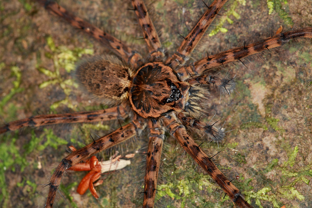 Large streamside spider.  Every rock in the stream I was exploring at night had one of these 5 inch diameter spiders on top of it, and looking up the stream I could see dozens of their eyes shinning blue in my flashlight.