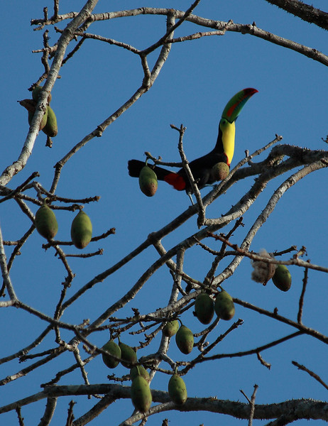 Keel-billed toucan (Ramphastos sulfuratus) in a fruiting Pseudobombax septenatum tree , Barro Colorado Island, Panama