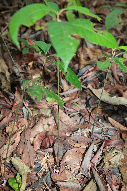 Marked seedling (note the colored and numbered expandable band at the base) on the Forest Dynamics Plot, Barro Colorado Island, Panama.  Liza Comita and her team have a 1 m^2 seedling plot in the center of each 5 x 5 m grid on this 50 hectare plot, a total of 20,000 plots.  These have been repeatedly censused since 2001, a massive effort.