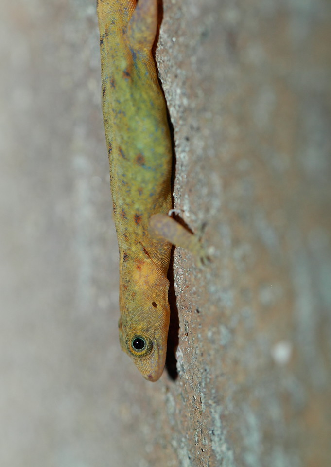 Medium sized gecko species that lives on the walls of all the buildings on BCI
