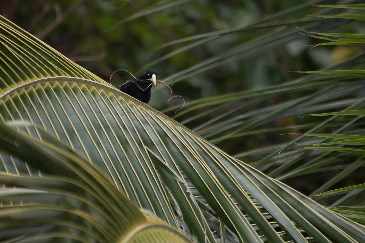 Yellow rumped caciques (Cacicus cela) vigorously pull fibers from green, healthy palm leaves to obtain the long strands they use to build elaborate hanging nests (similar to related Oropendolas)