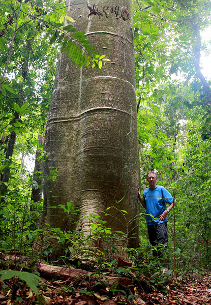 An enormous specimen of Cavanillesia platanifolia. Amazingly, this rainforest giant has wood less dense than balsa.  Barro Colorado Island, Panama