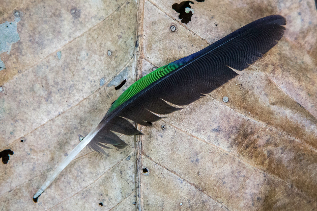Feather on the forest floor.  I can't figure out the species (about trogon or pigeon sized primary feather).