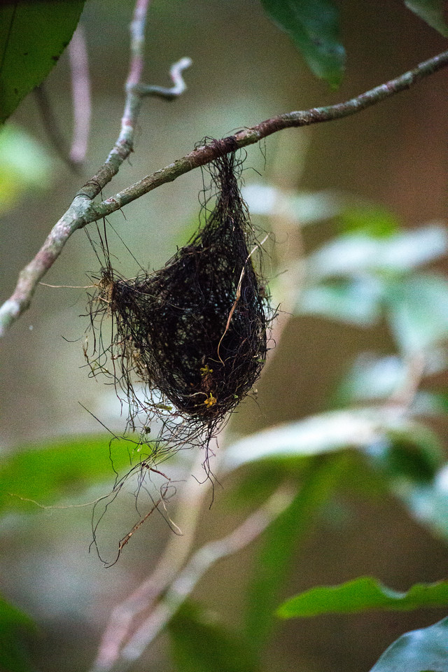Small woven nest (old and abandoned, I think) in the forest on BCI.