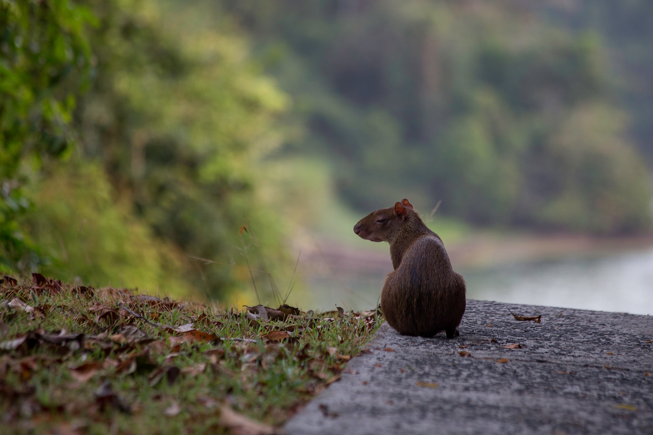 Agouti just walking up in the early morning.