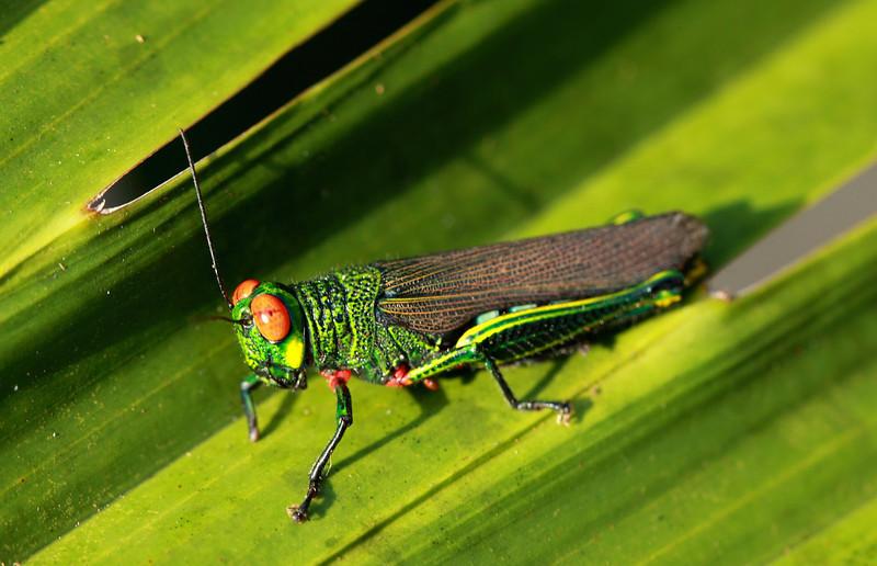 Red eyed grasshopper. Barro Colorado Island, Panama.