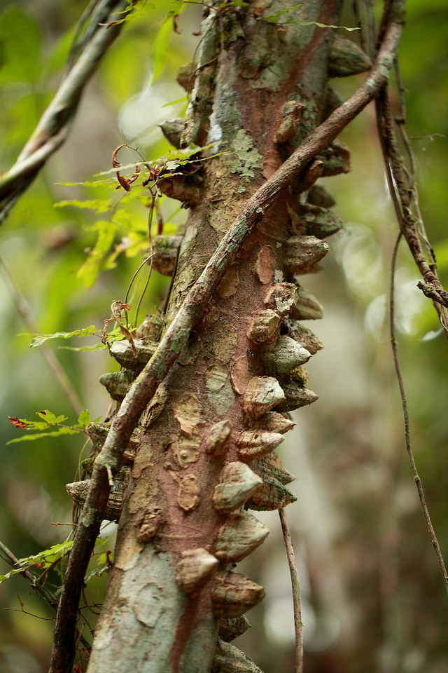 Vines are a constant challenge for tropical trees, often over-growing their crowns and breaking their limbs.  One defense against vines is to have sharp spine-like protuberances that, when the tree sways in the wind, may saw through vines.  As evidenced here, it's not a fool-proof solution.