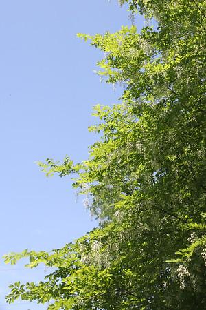 Yellowwood Tree - a member of the bean family