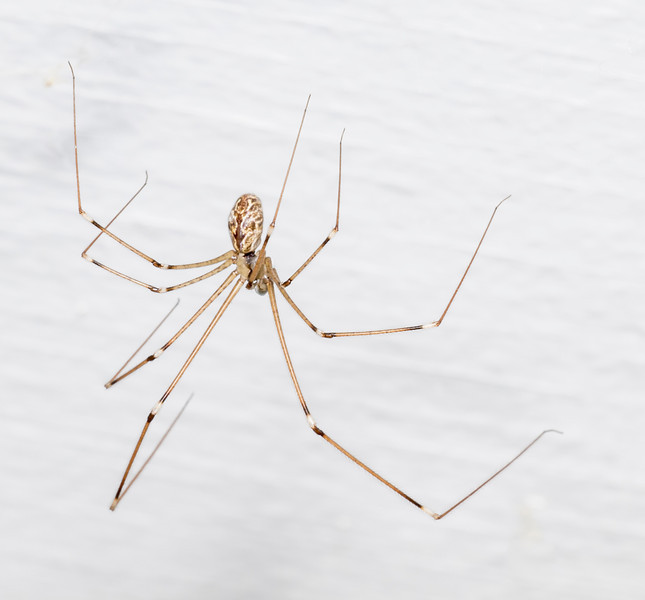 A cellar spider (most likely Holocnemus pluchei) on the wash-room ceiling.