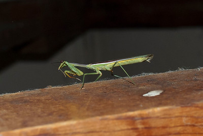 I was excited to see this mantis fly into the main building on Thursday night.  Little did I realize how many more I would be seeing.  By the way, this one seems to be shielding its face against the annoying paparazzo.