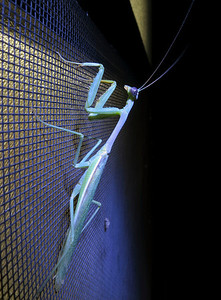 A mantis on a screen, illuminated by Brad Y.'s LED flashlight.